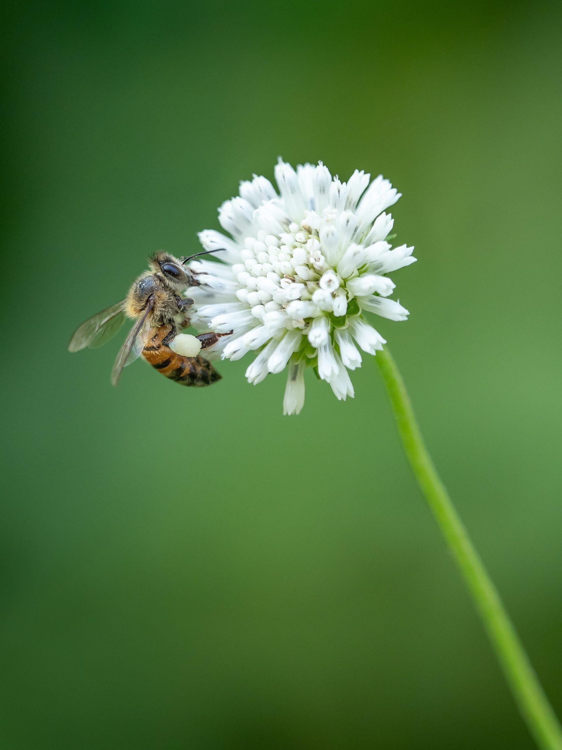La peur des abeilles, les causes et les symptômes